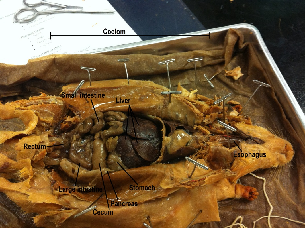 Rat Dissection - Biology 11 Honours - Animalia Labs